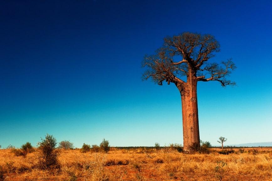 Baobab boom madagaskar