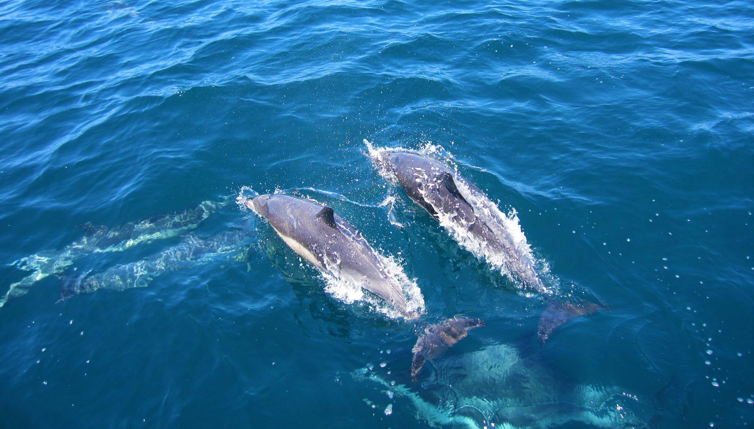 Dolfijnen in de zee bij Monkey Mia, West-Australië