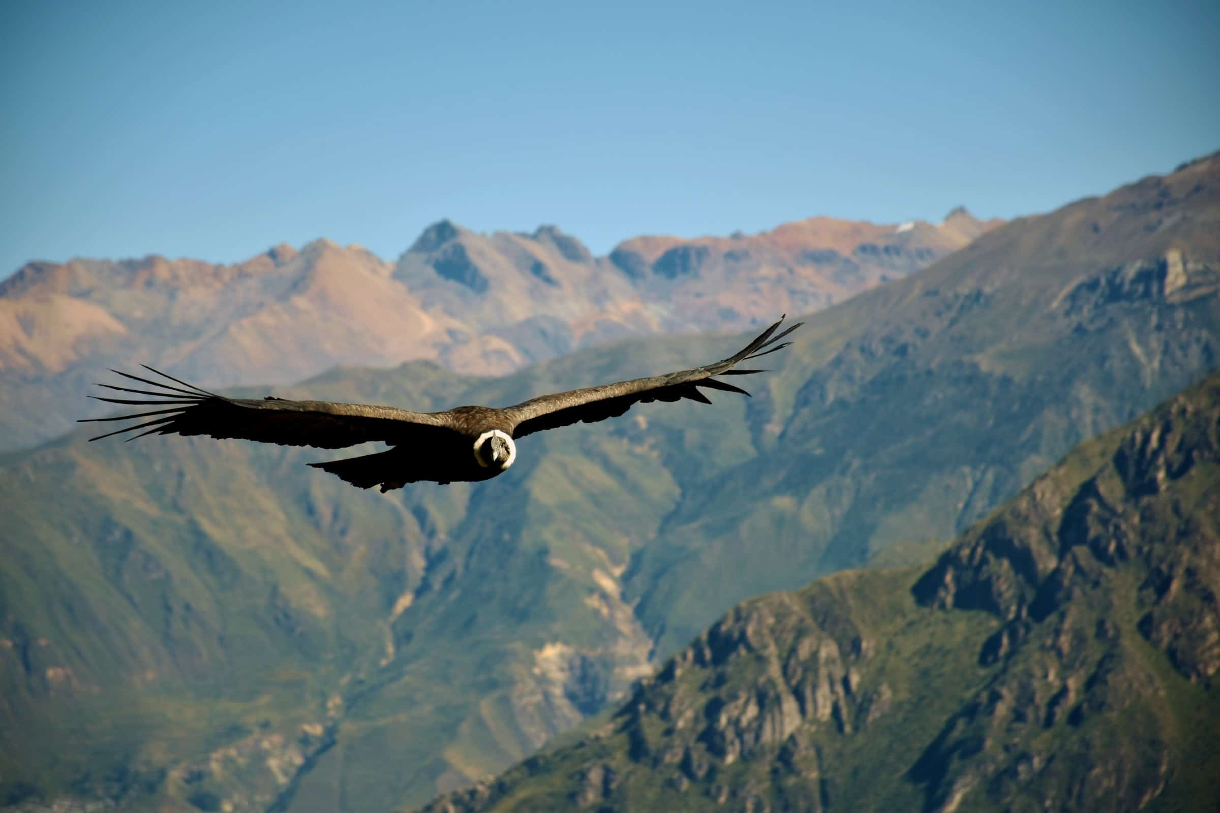 Een Andes Condor in Colca Canyon