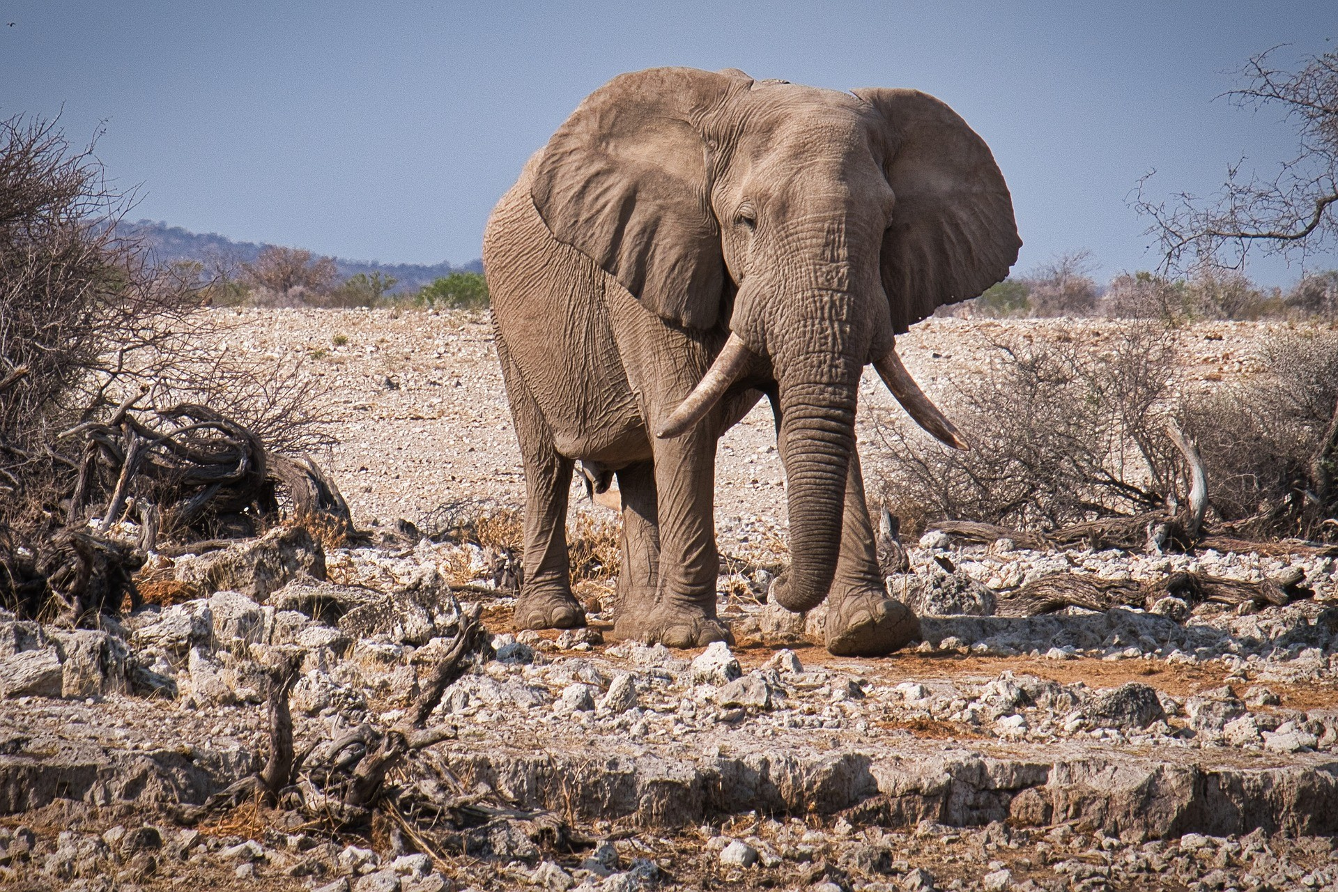 Een Olifant in Etosha, Namibië