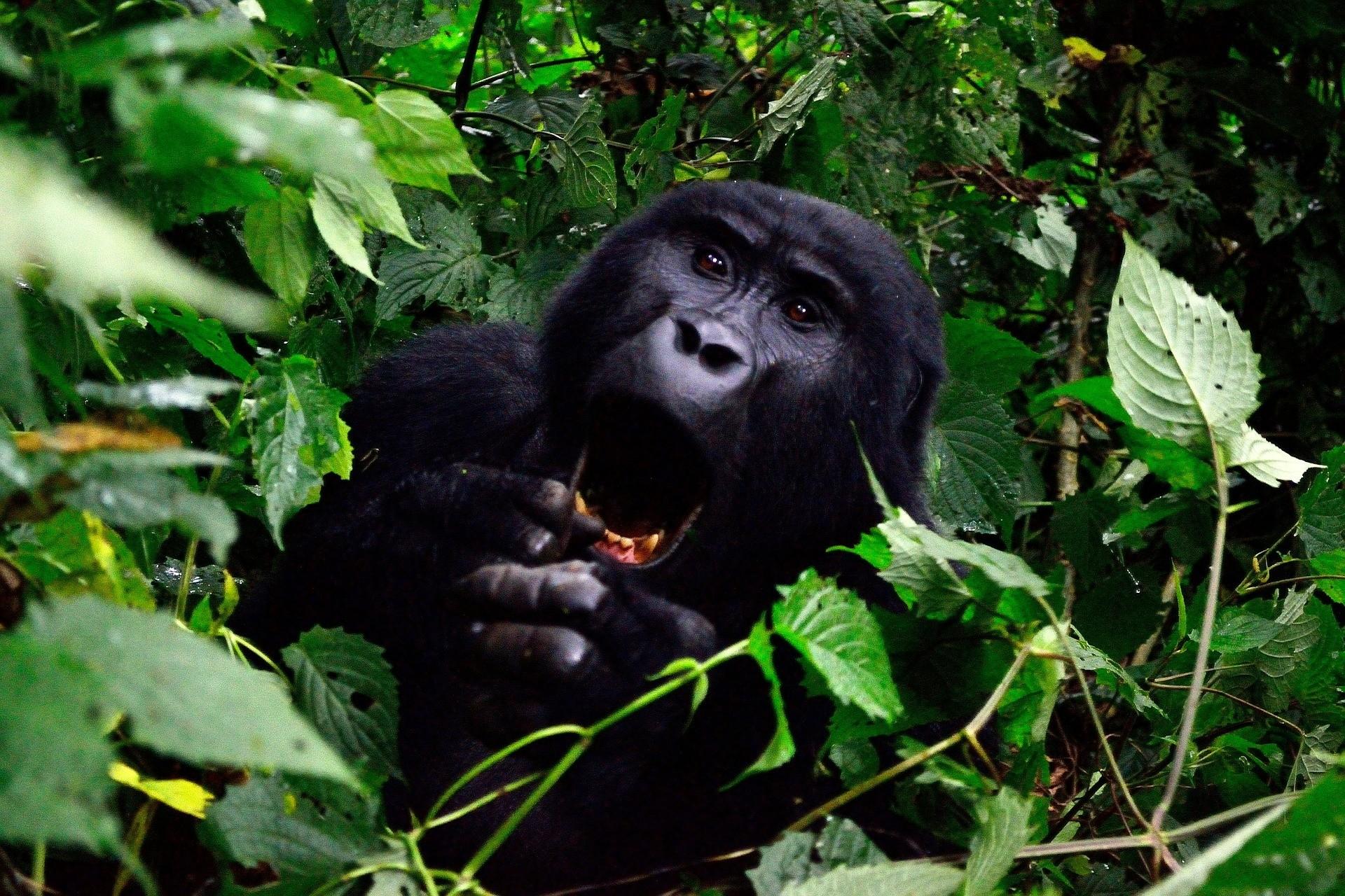 Een gorilla in Bwindi, Oeganda