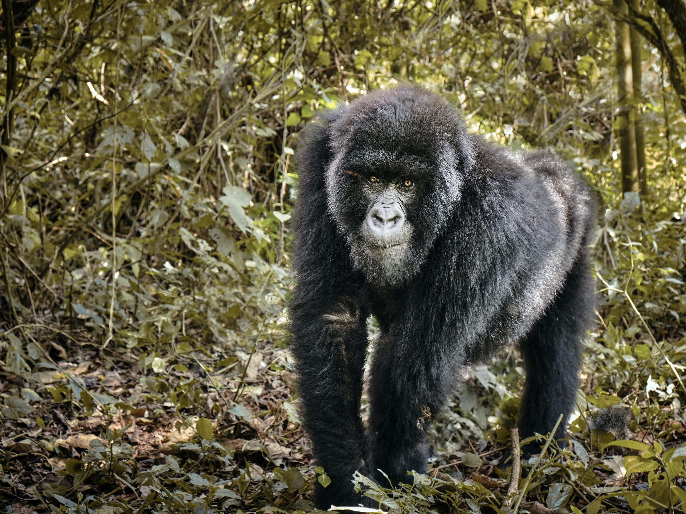 Gorilla, Virunga Nationaal Park