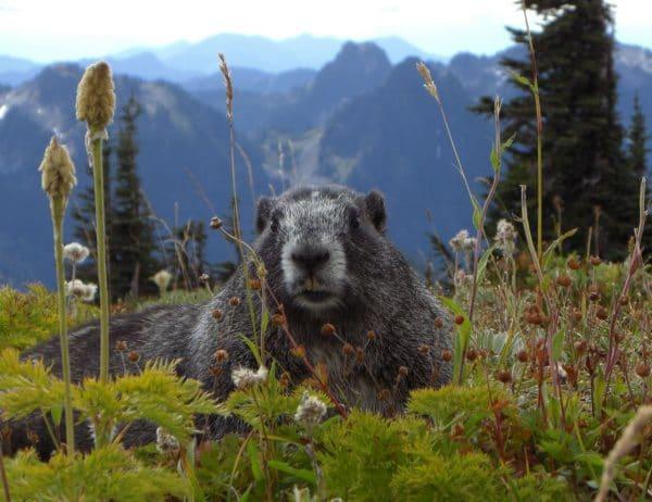 Mount Rainier, Marmotten