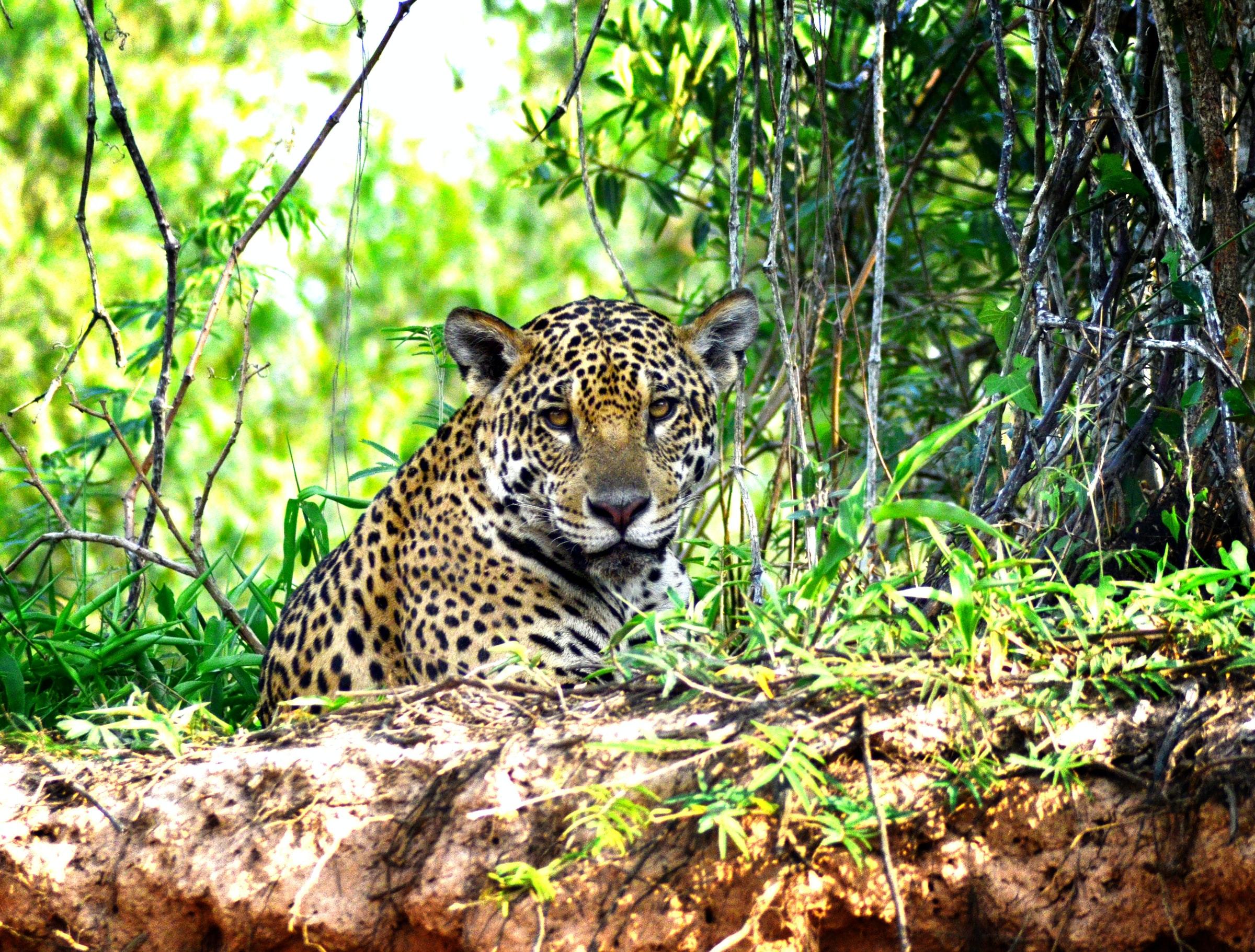 Een Jaguar in Pantanal (Brazilië)