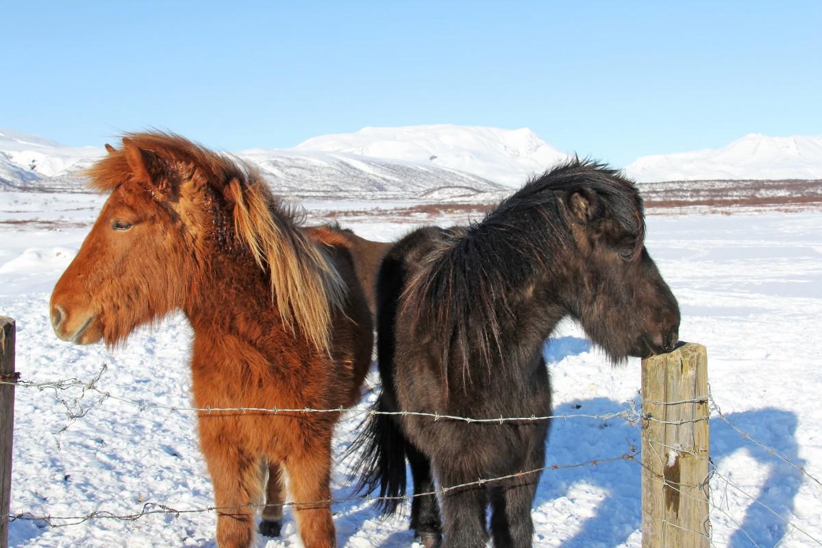Leuke dingen om te doen in IJsland, Paardrijden