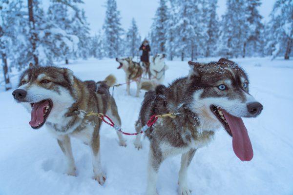 Husky toer in Fins Lapland
