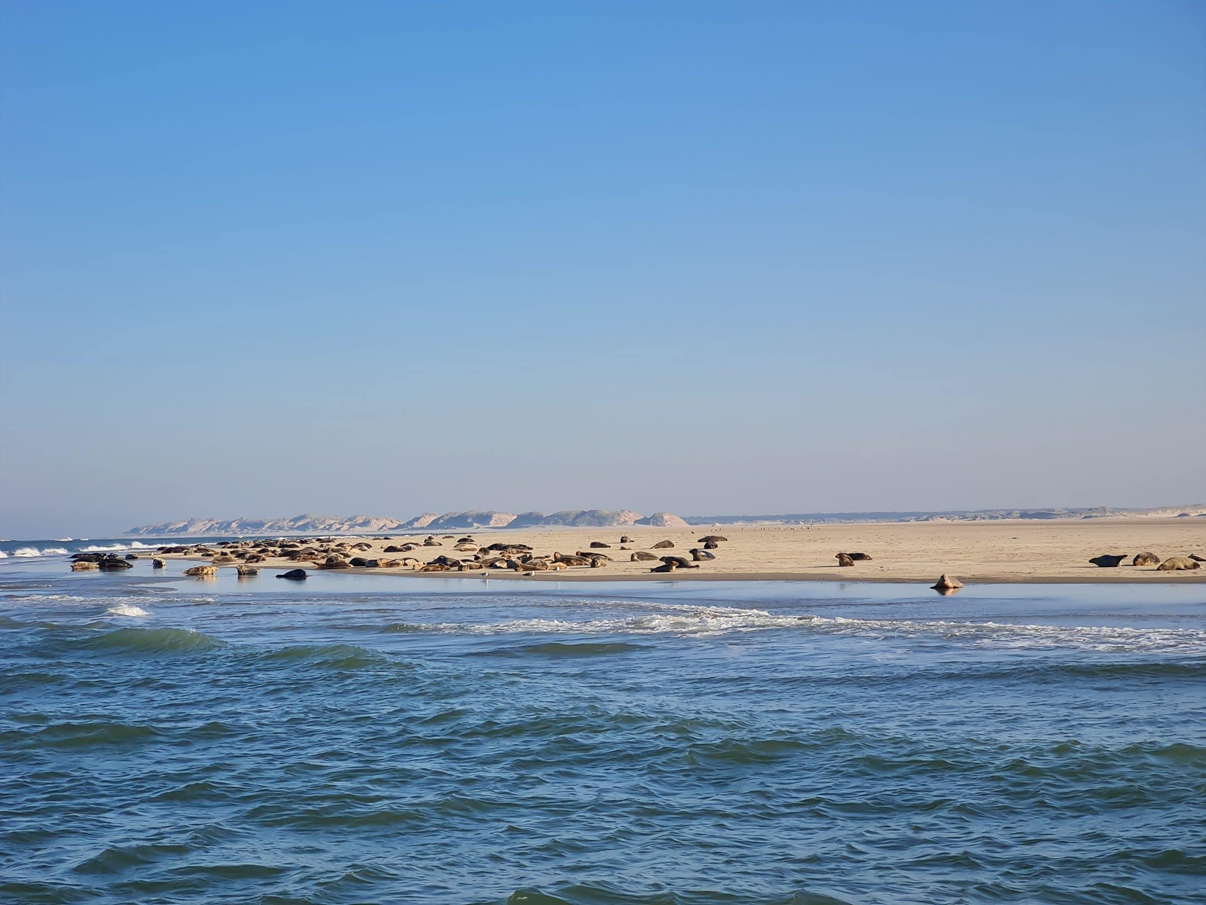 Grijze zeehonden spotten in Zeeland