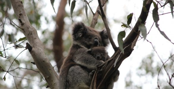 Koala in Australië