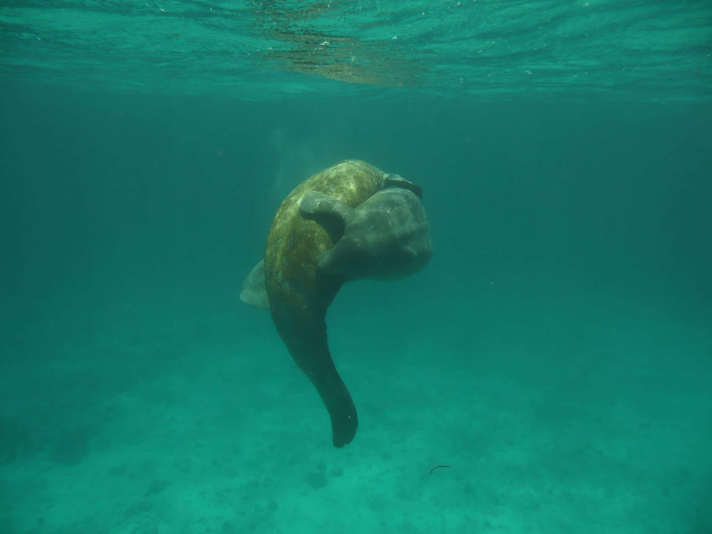 Zeekoeien (manatees) in Belize
