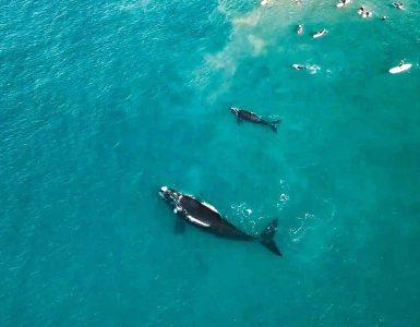 Walvis slaat surfers met staart
