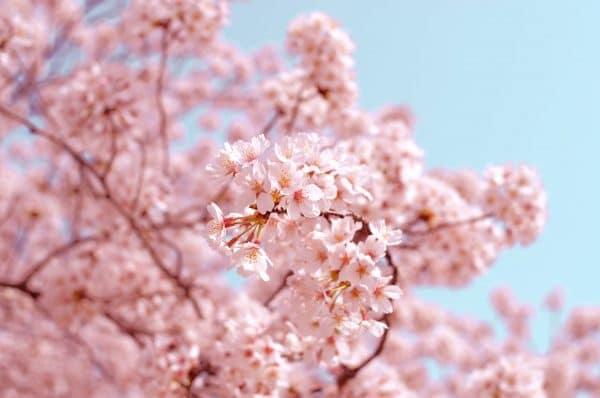 Kersenbloesem   Reisgids Japan