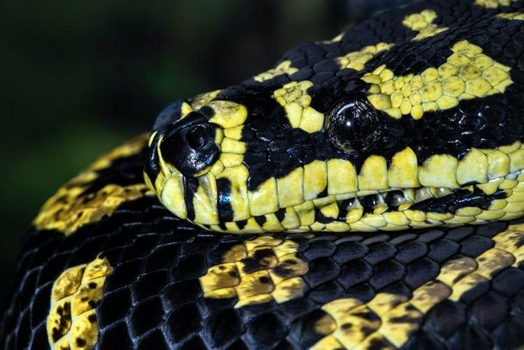 De Diamond Python, Australie