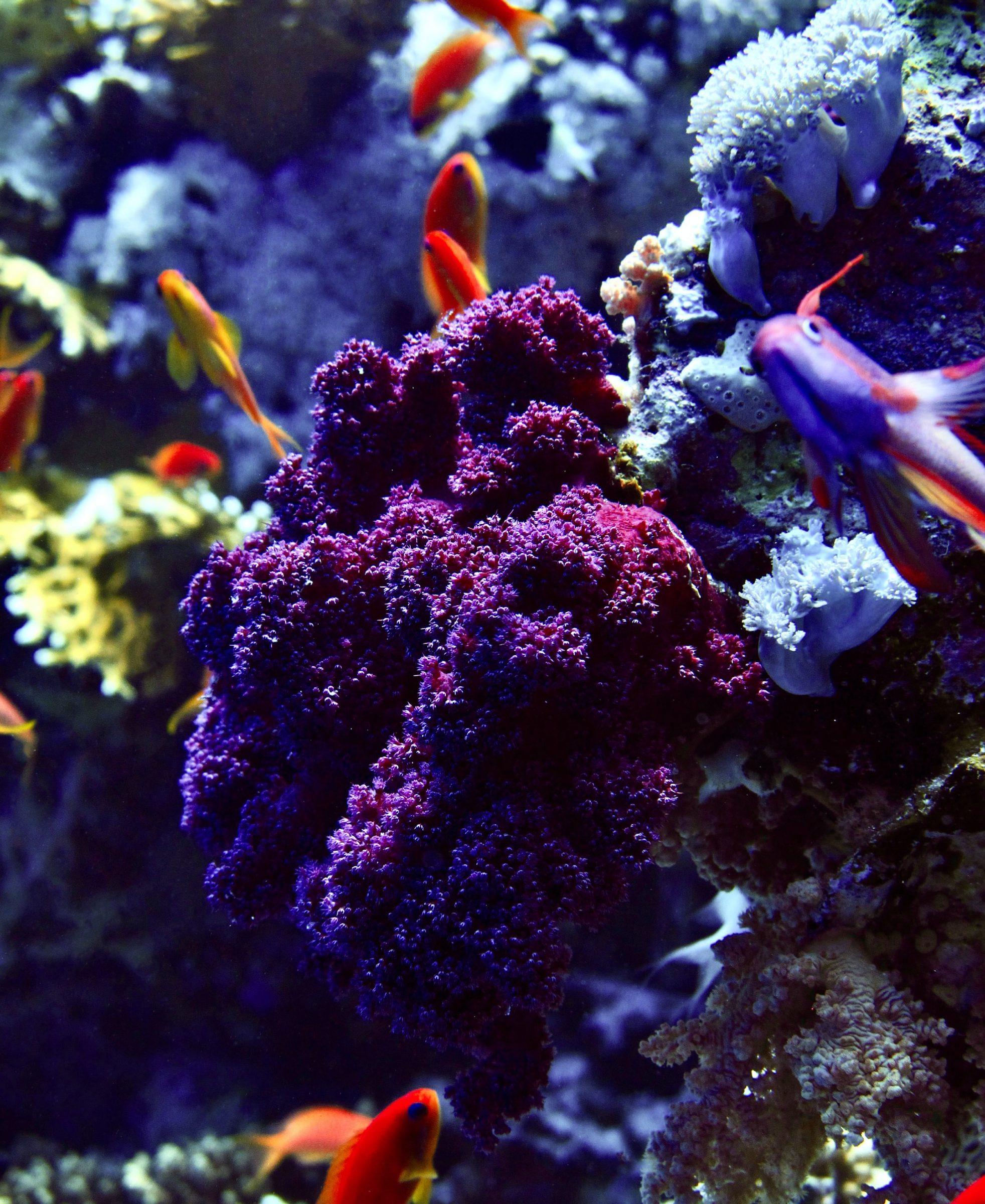 Red koraal door je zonnebrand te vervangen