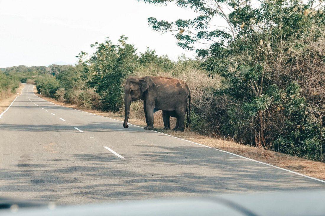 Olifant op de weg - Reisroute Sri Lanka