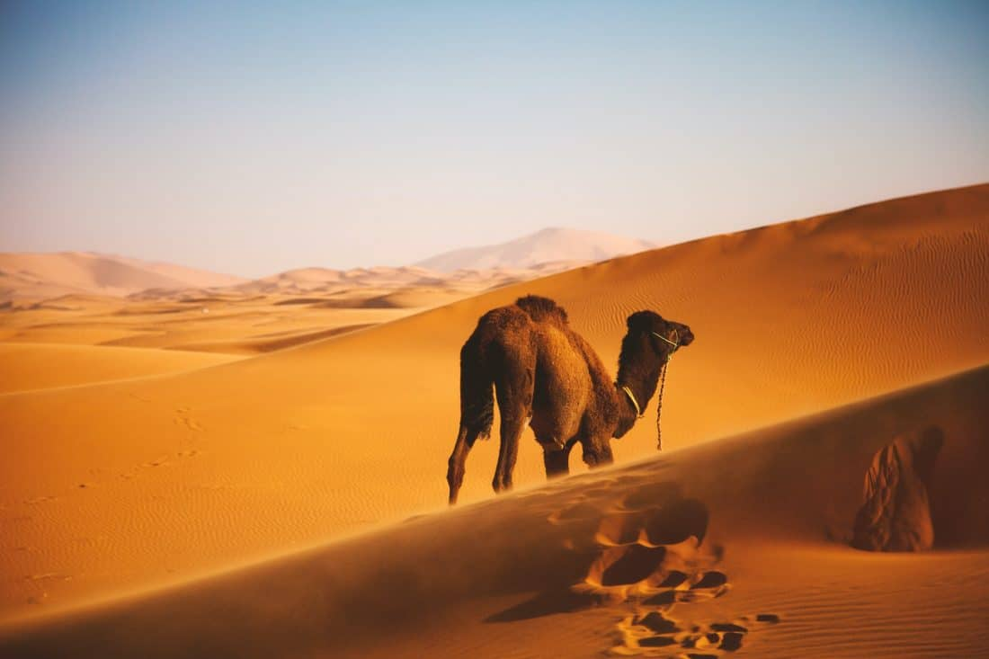 Kameel in de Sahara woestijn van Marokko
