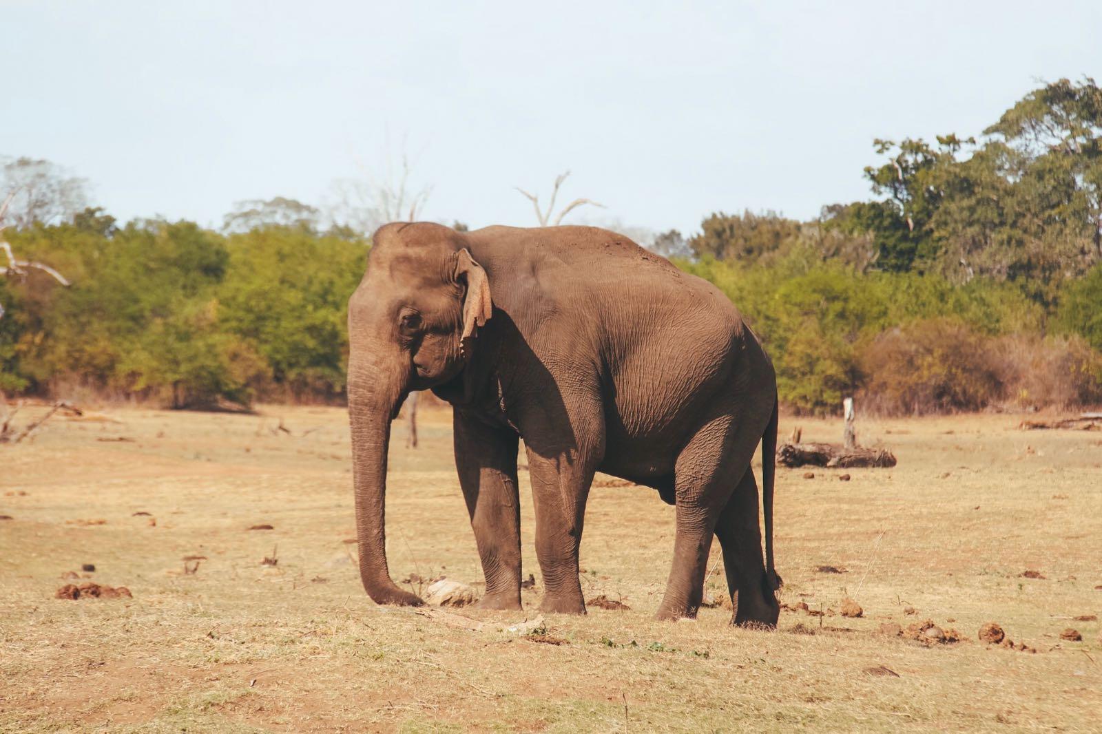 Olifant in Udawalawe National Park - Sri Lanka