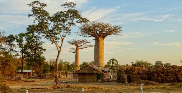 Baobabs-in-Kirindy-Village