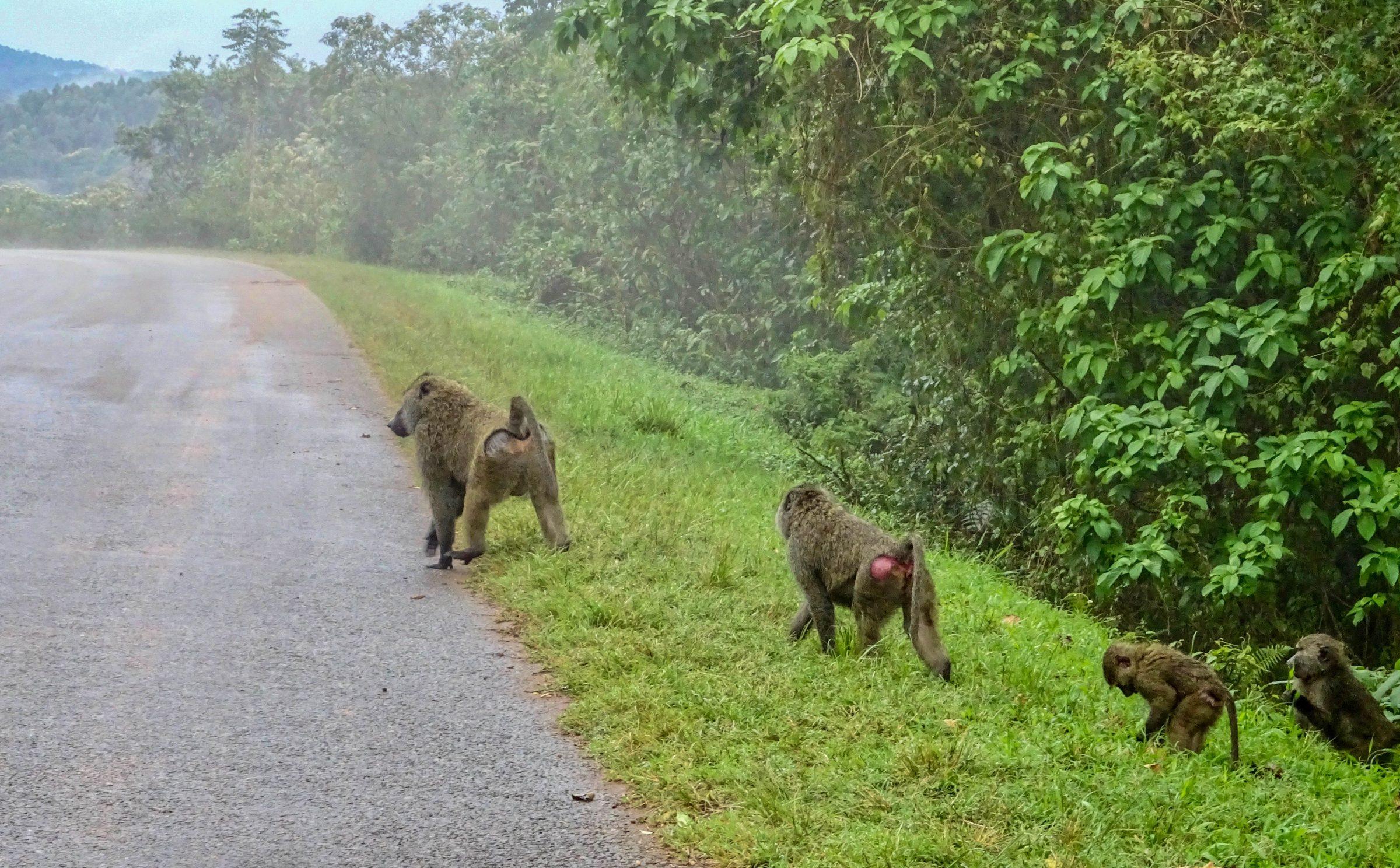 Bavianen op de weg nabij Lutoto