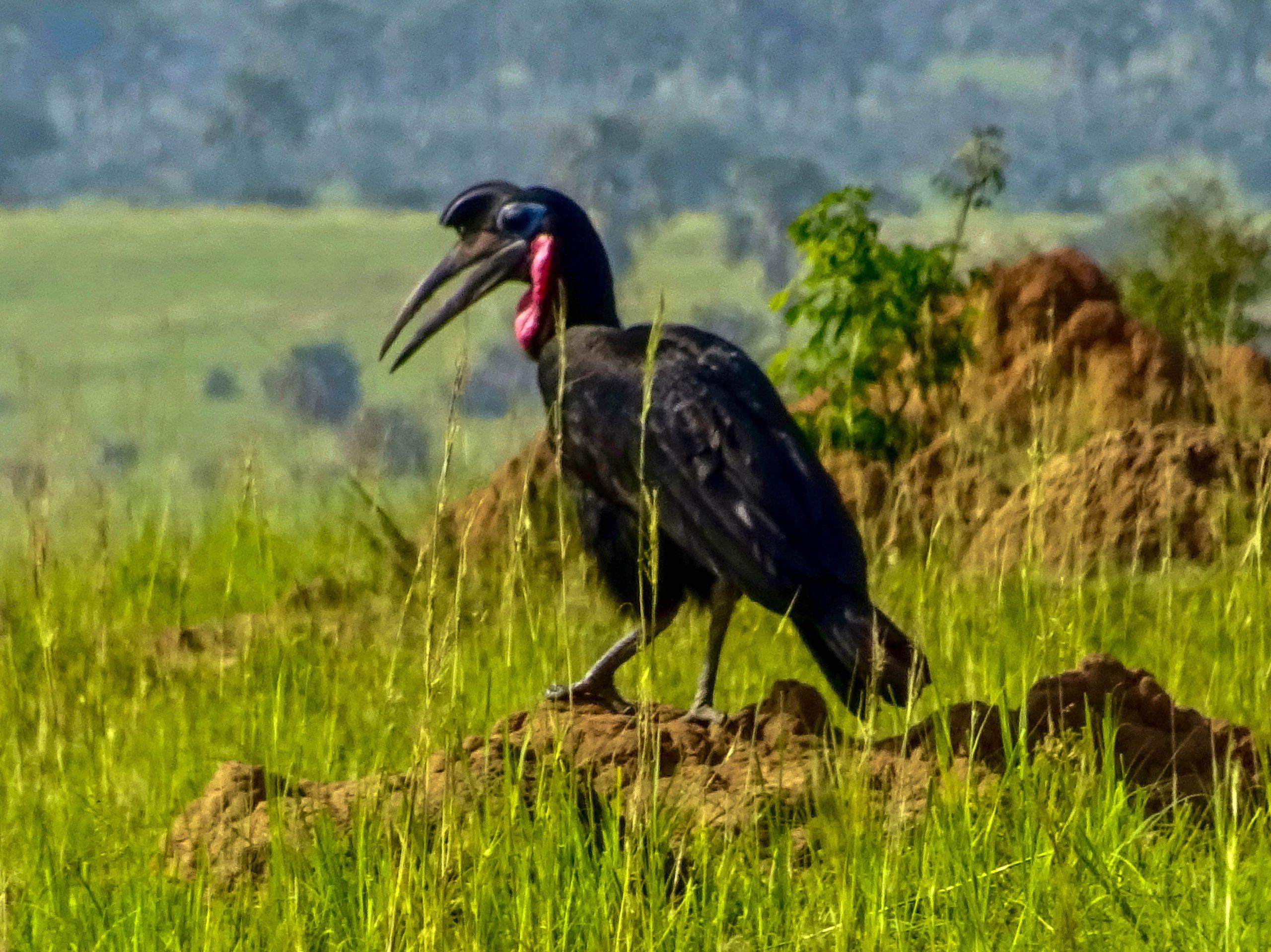 Een bromvogel (Southern Grounded Hornbill) in Murchison Falls NP