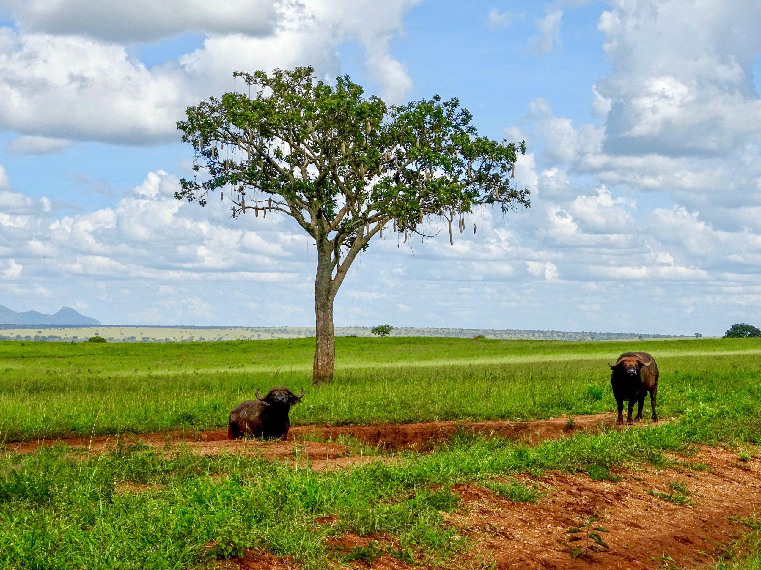 Buffels bij een worstboom in Kidepo Valley NP