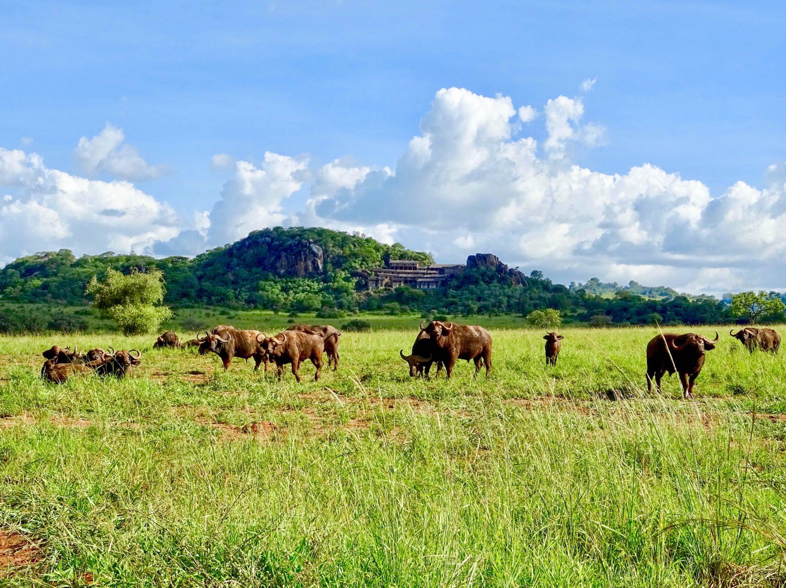 Een kudde buffels in de vallei voor de Katurum rotsen