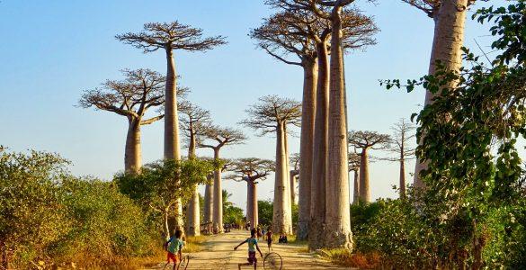 De Baobab allee nabij Morondava