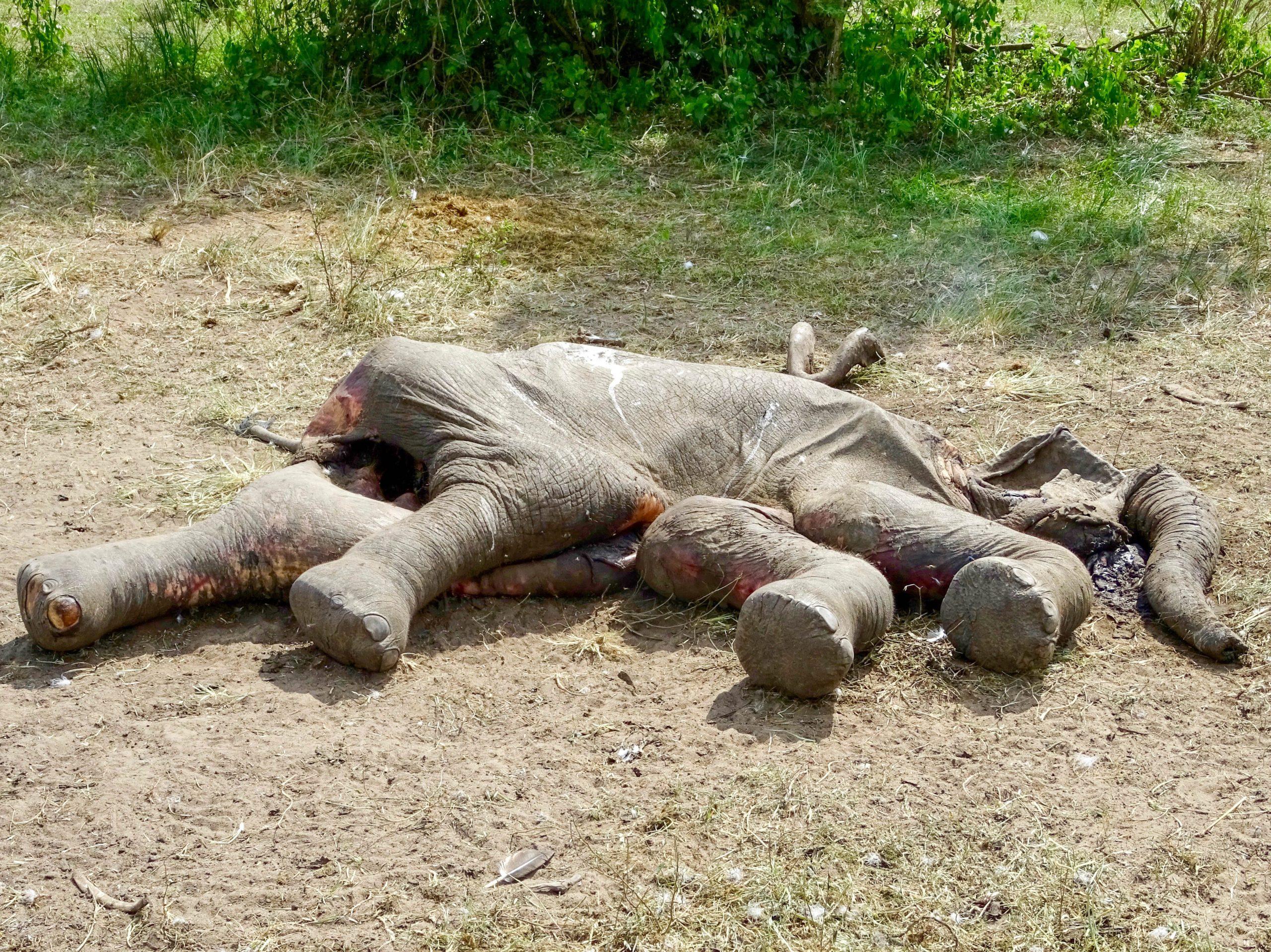Een dood olifantenjong in Murchison Falls