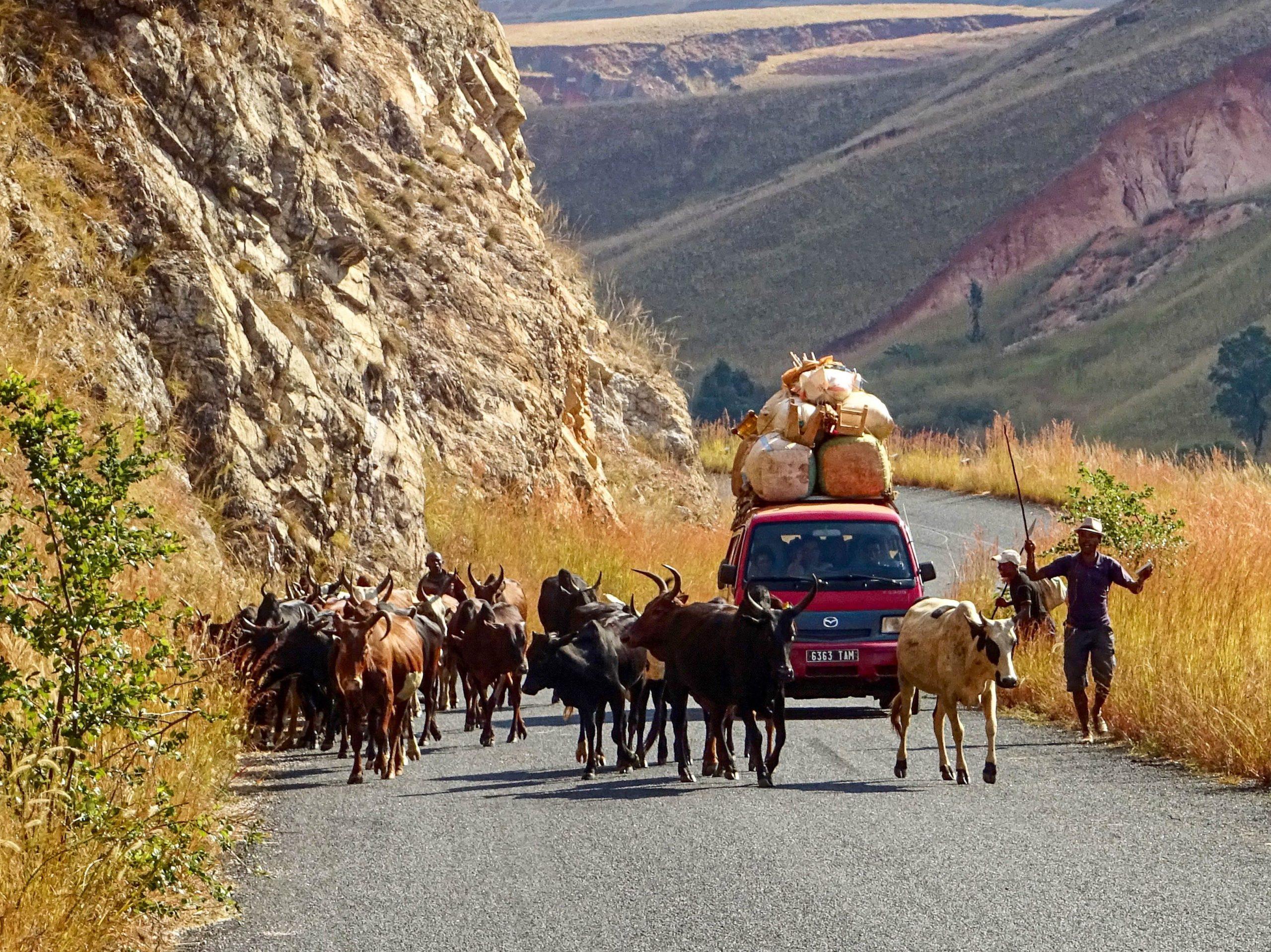 Een herder dirigeert zijn kudde op de Route National 35