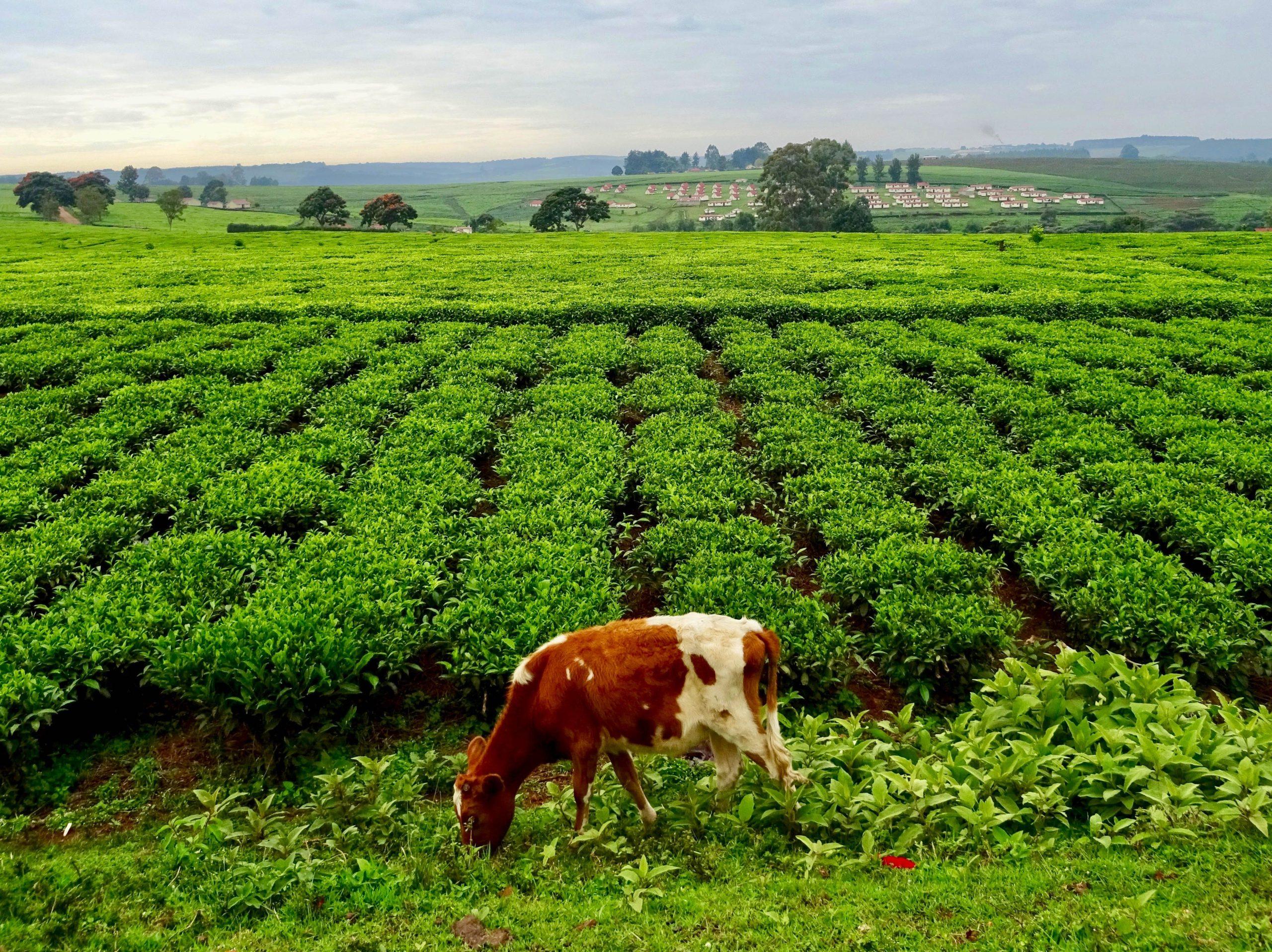 Een koe bij de thee nabij Kericho