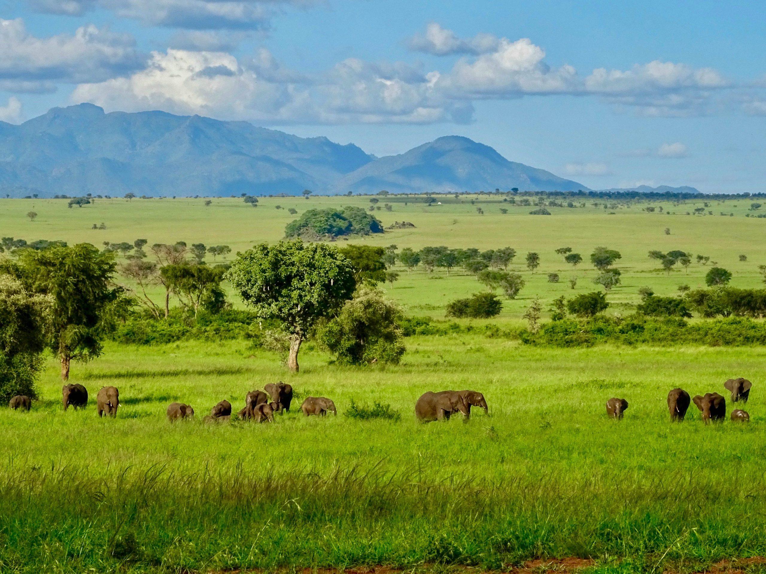 Een kudde olifanten onderweg naar Apoka in Kidepo Valley National Park