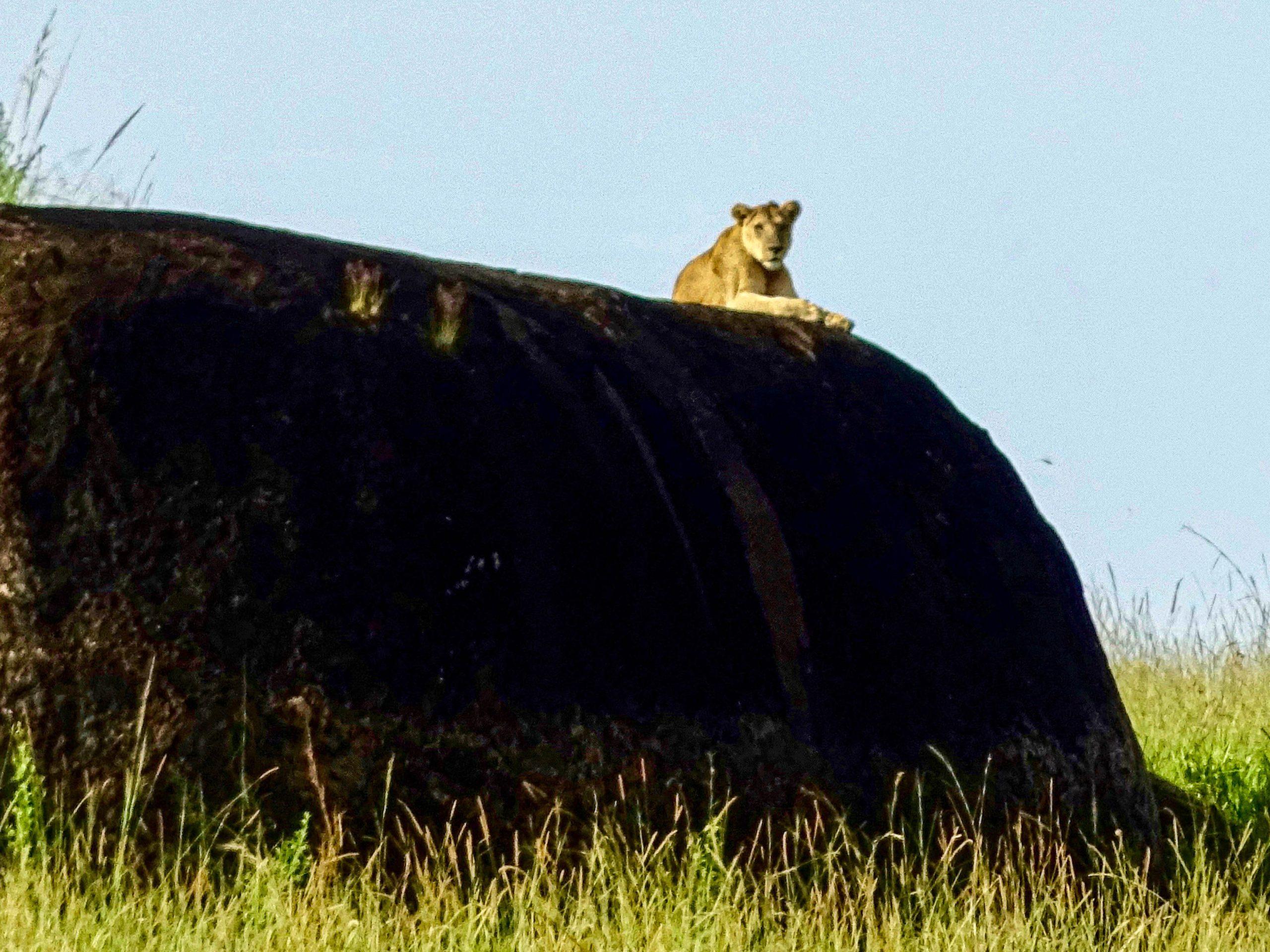 Een leeuw op een rots in Kidepo NP