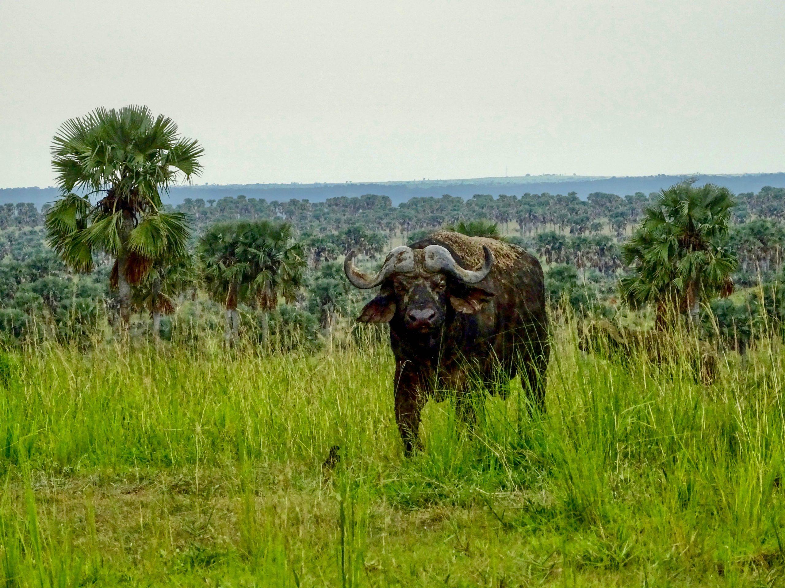 Een nieuwsgierige buffel in Murchison Falls