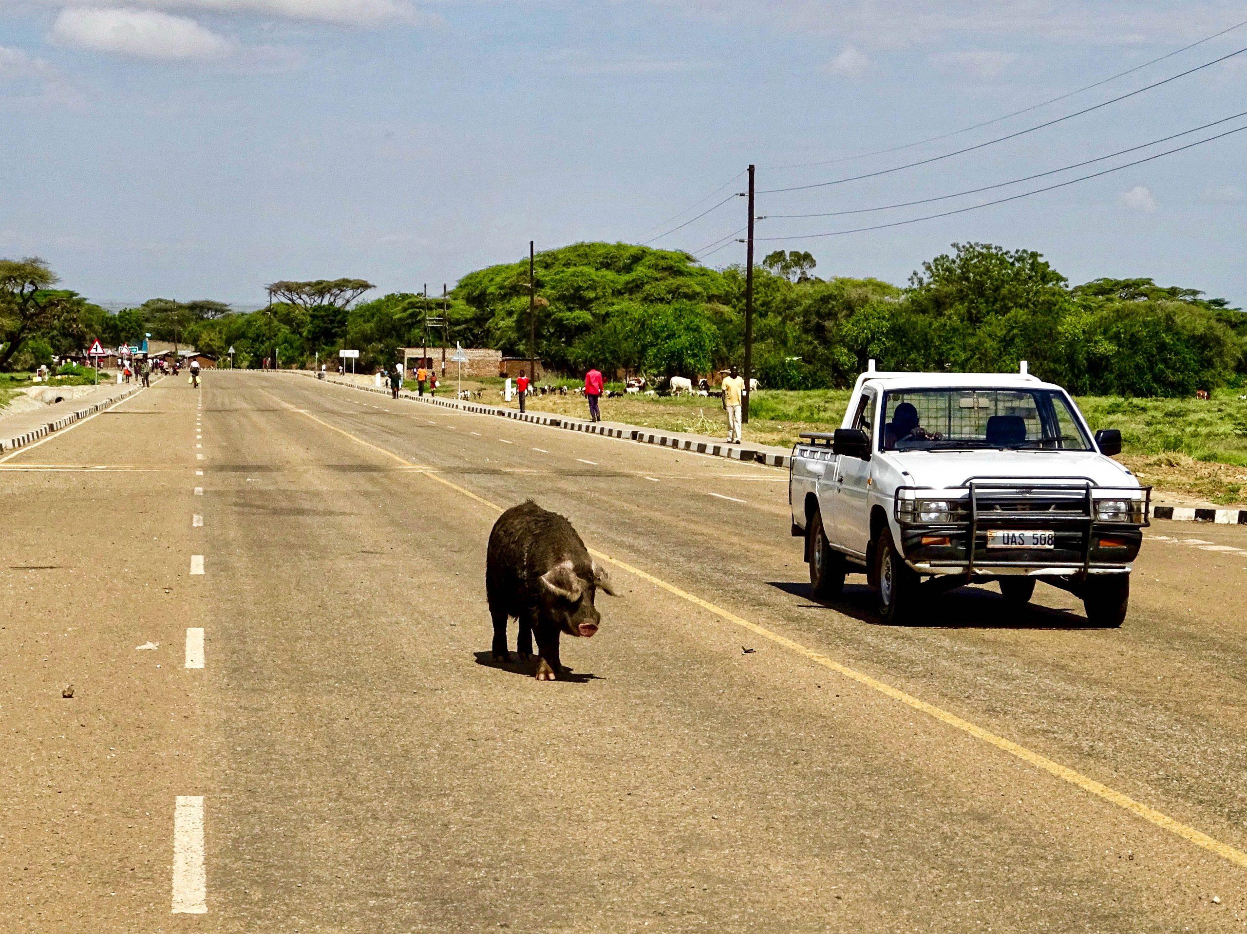 Een varken maakt een ommetje nabij Moroto