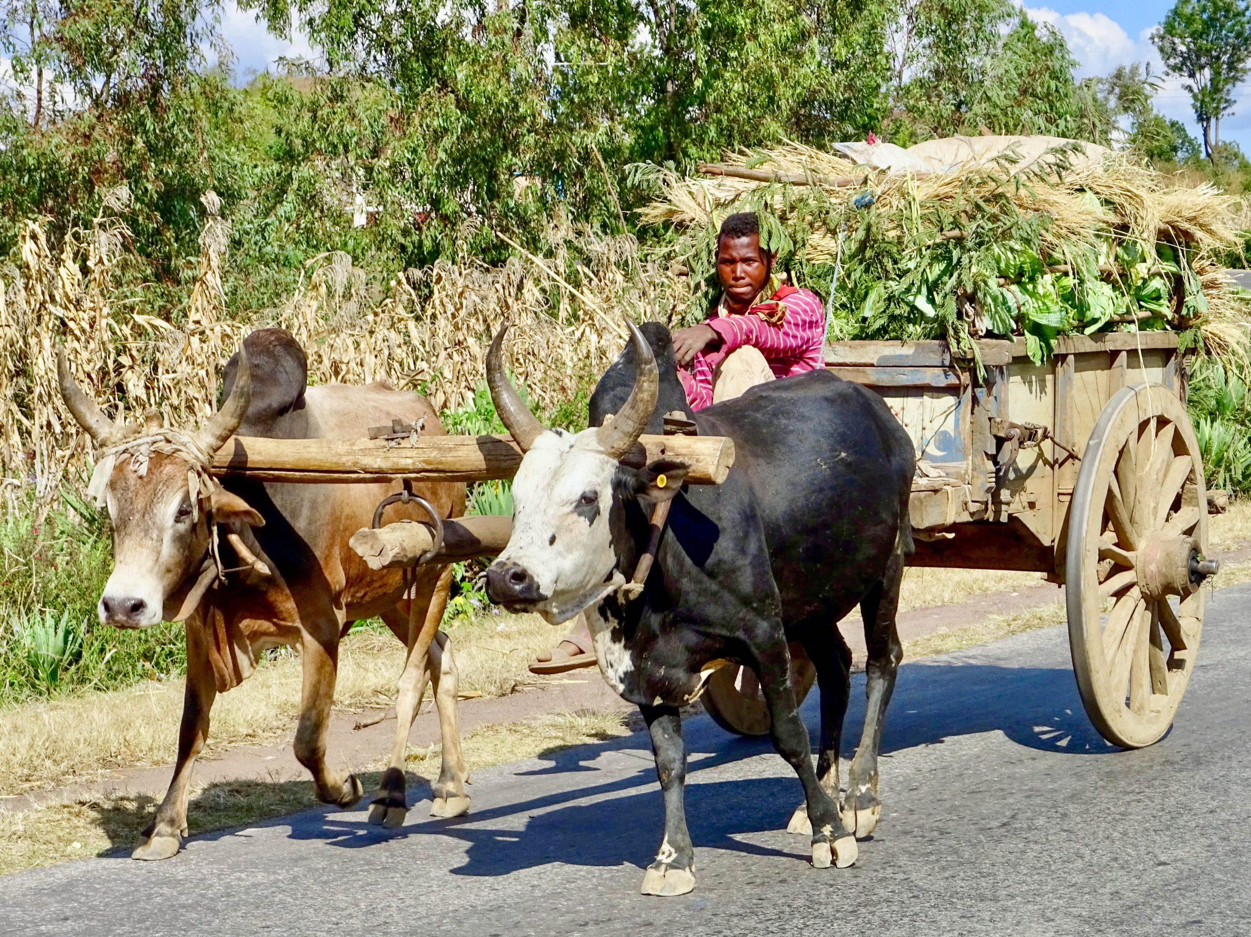 Een zeboekar onderweg naar Antsirabe