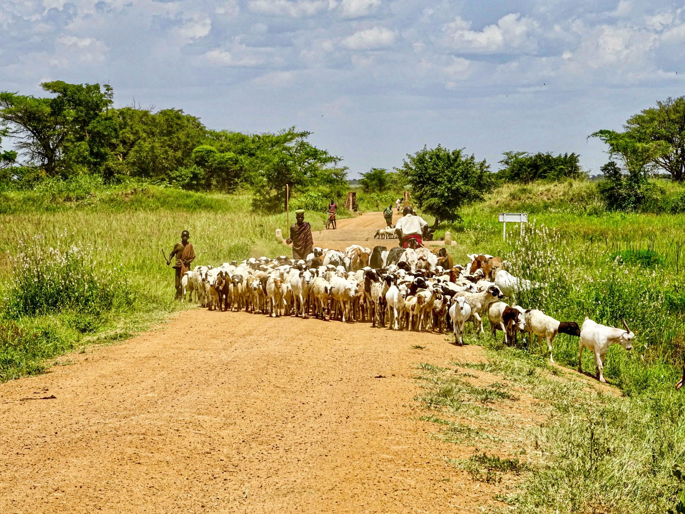 Geiten versperren de weg in Karamoja