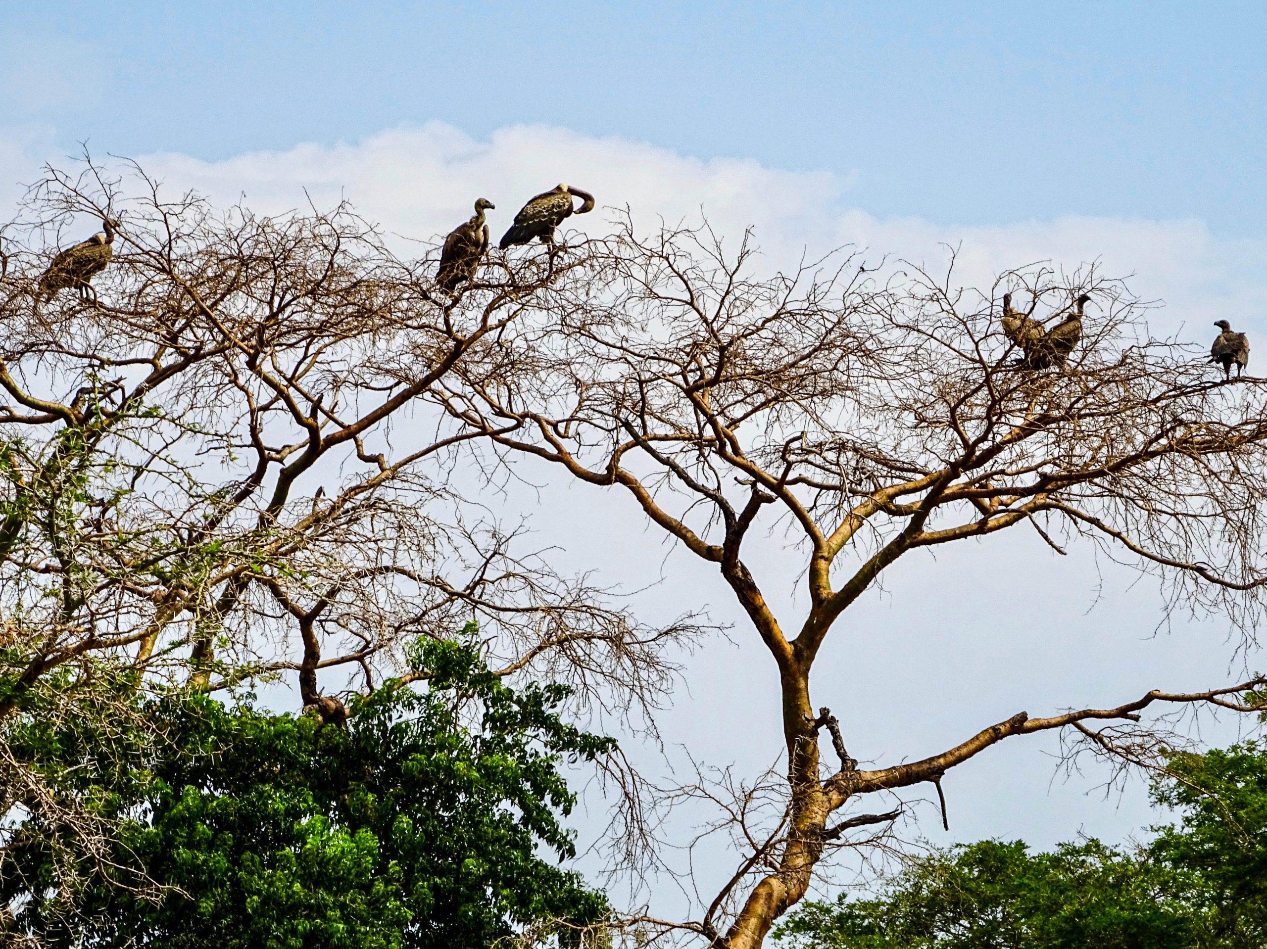 Gieren wachten in de boomtoppen bij een olifantenlijk