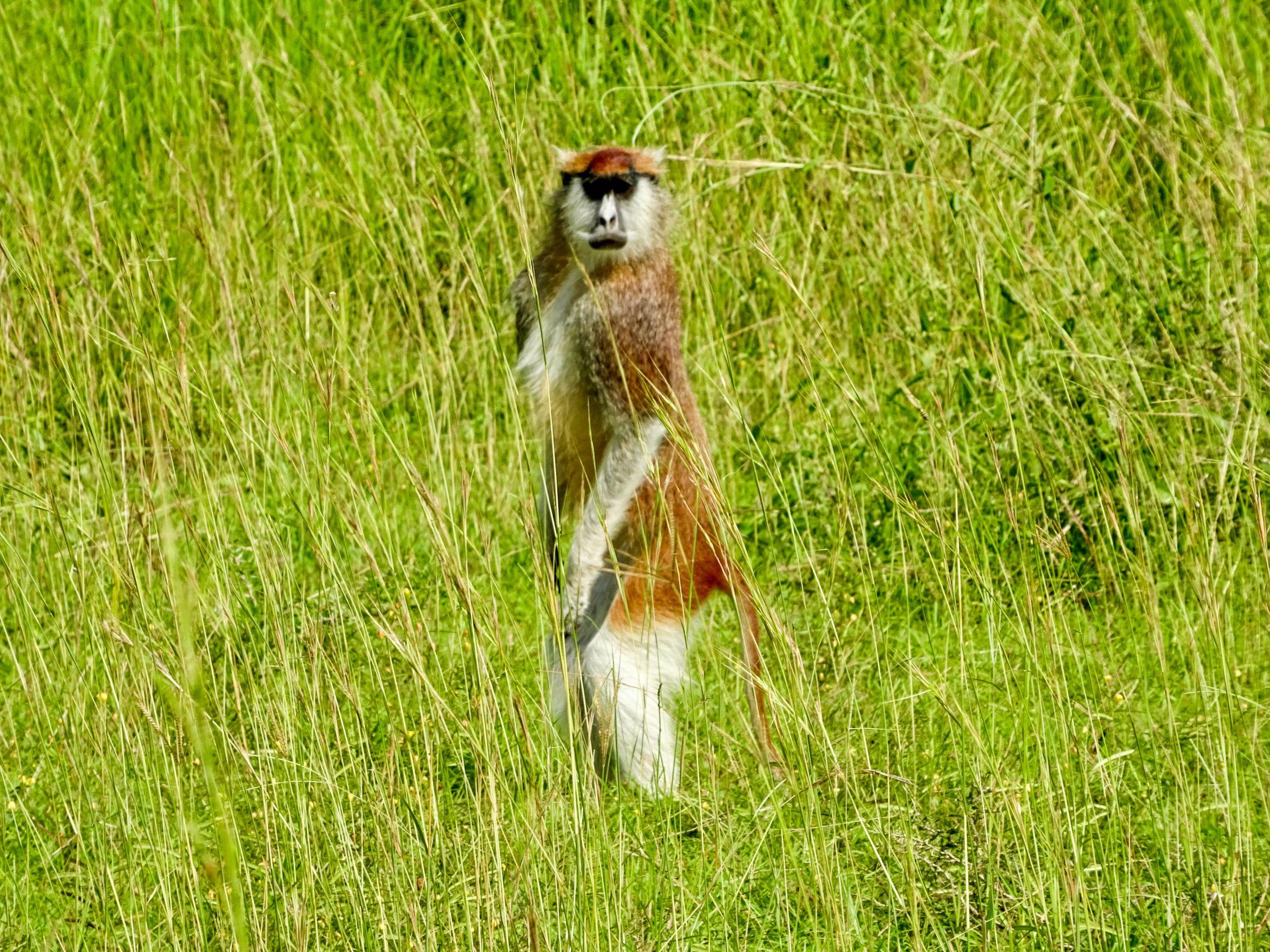 Huzarenaap in Murchison Falls