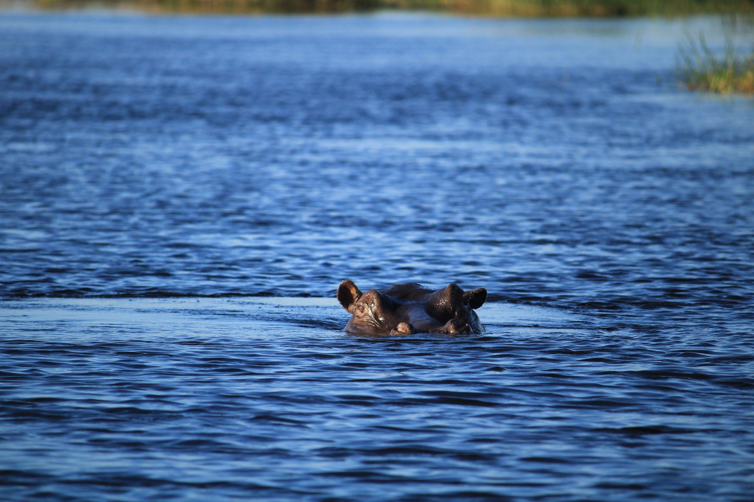 Nijlpaard in de rivier Kwando