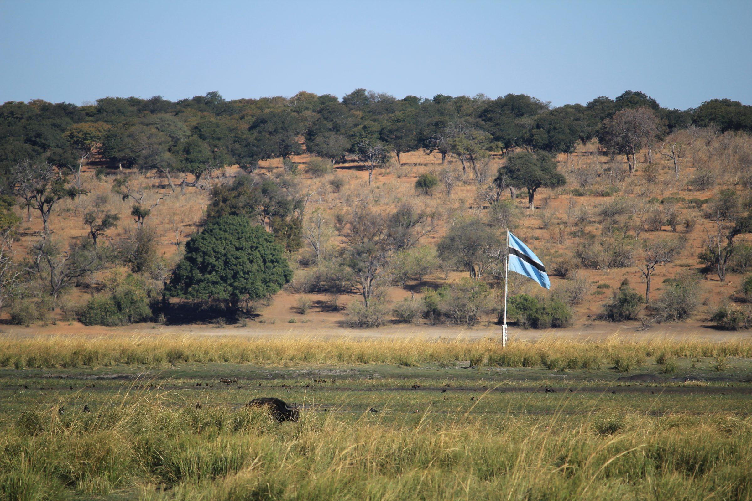 Een buffel grazend op Botswana met op de achtergrond Chobe National Park
