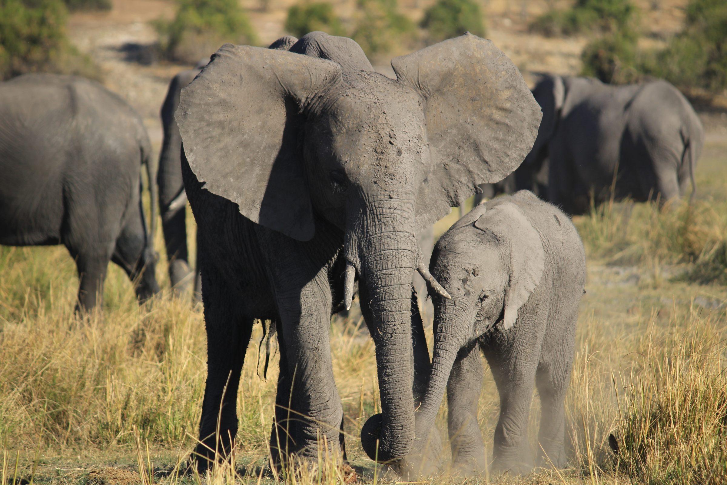 Olifanten familie die graast over Sedude eiland