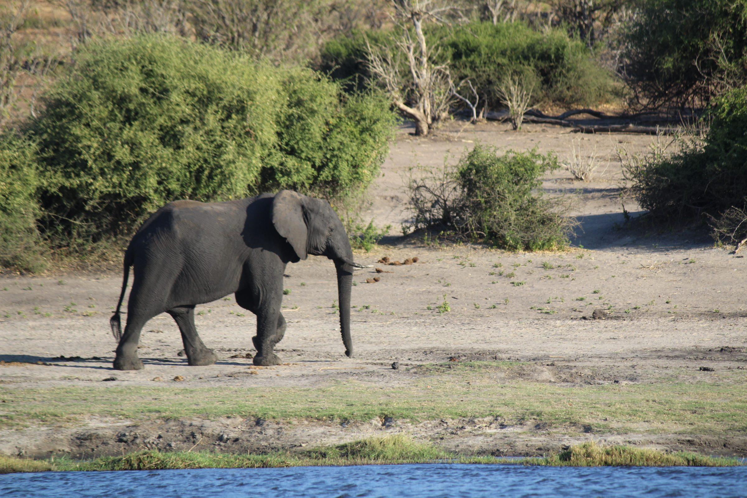 Olifant die langs de waterrand in Chobe National Park loopt