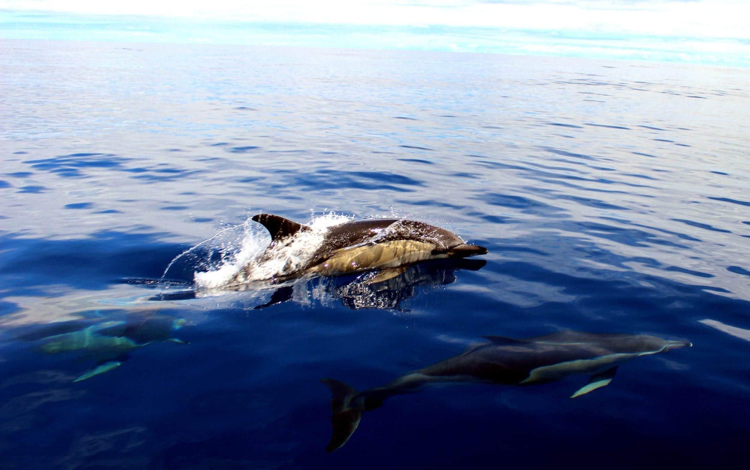 Dolfin & Whalewatching op de Azoren - Een geweldige ervaring