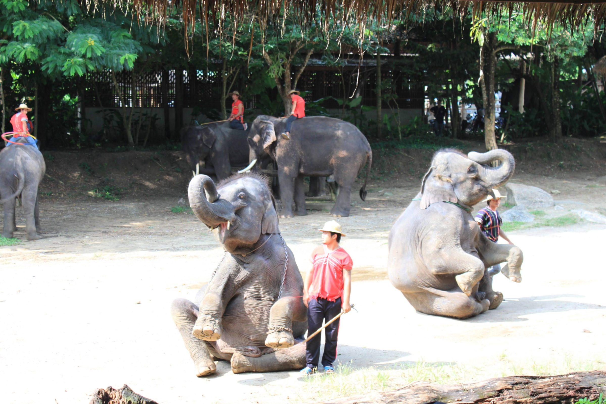 Olifanten die trucjes doen voor toeristen