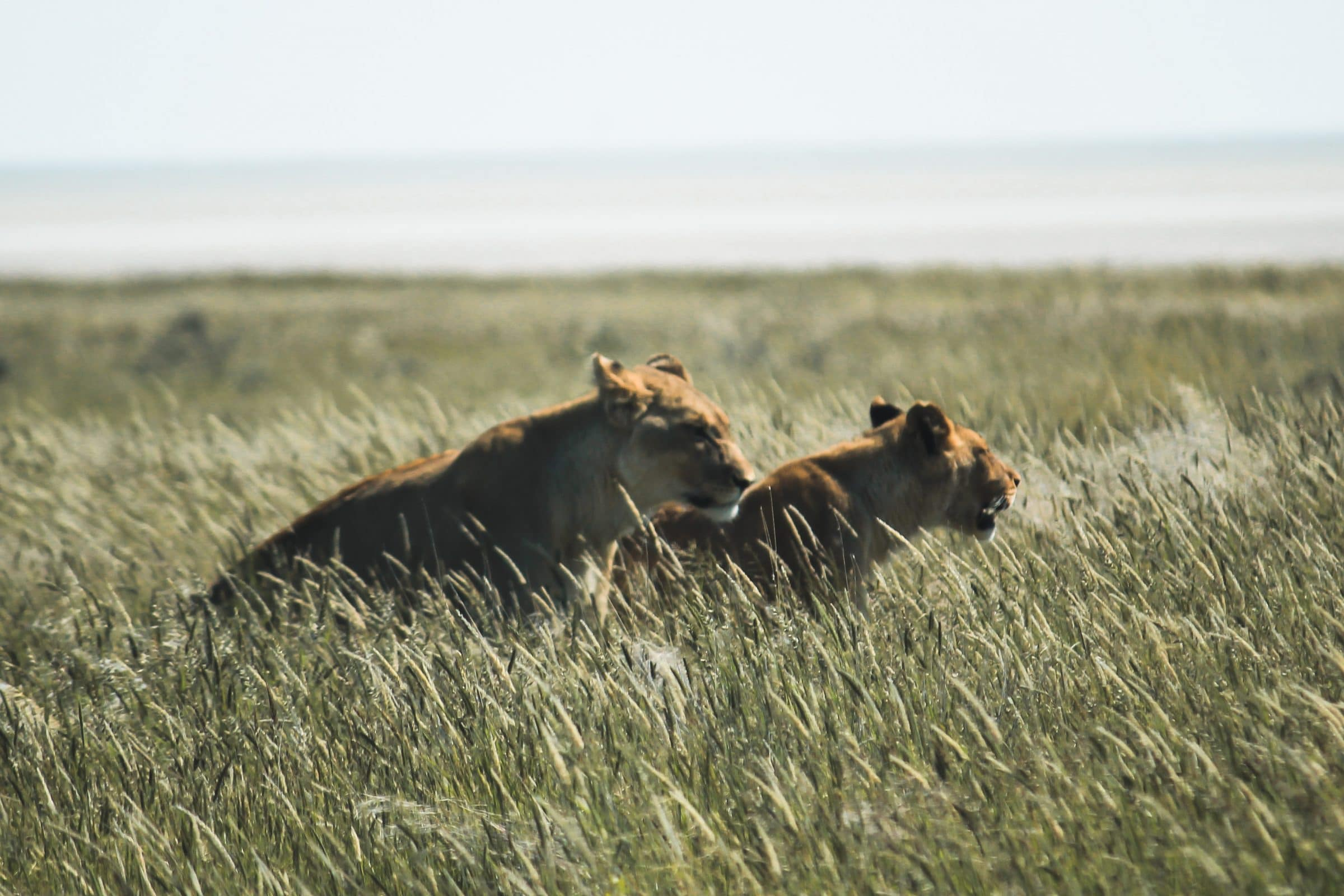 Twee leeuwen op jacht in Etosha National Park