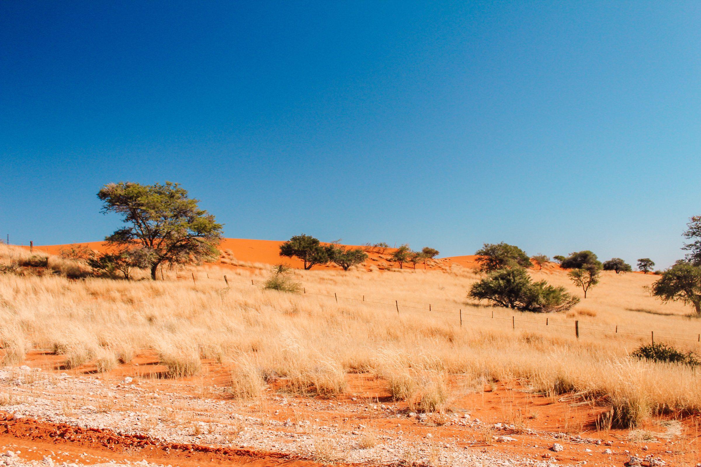 Het bekende oranje zand van de Kalahari woestijn