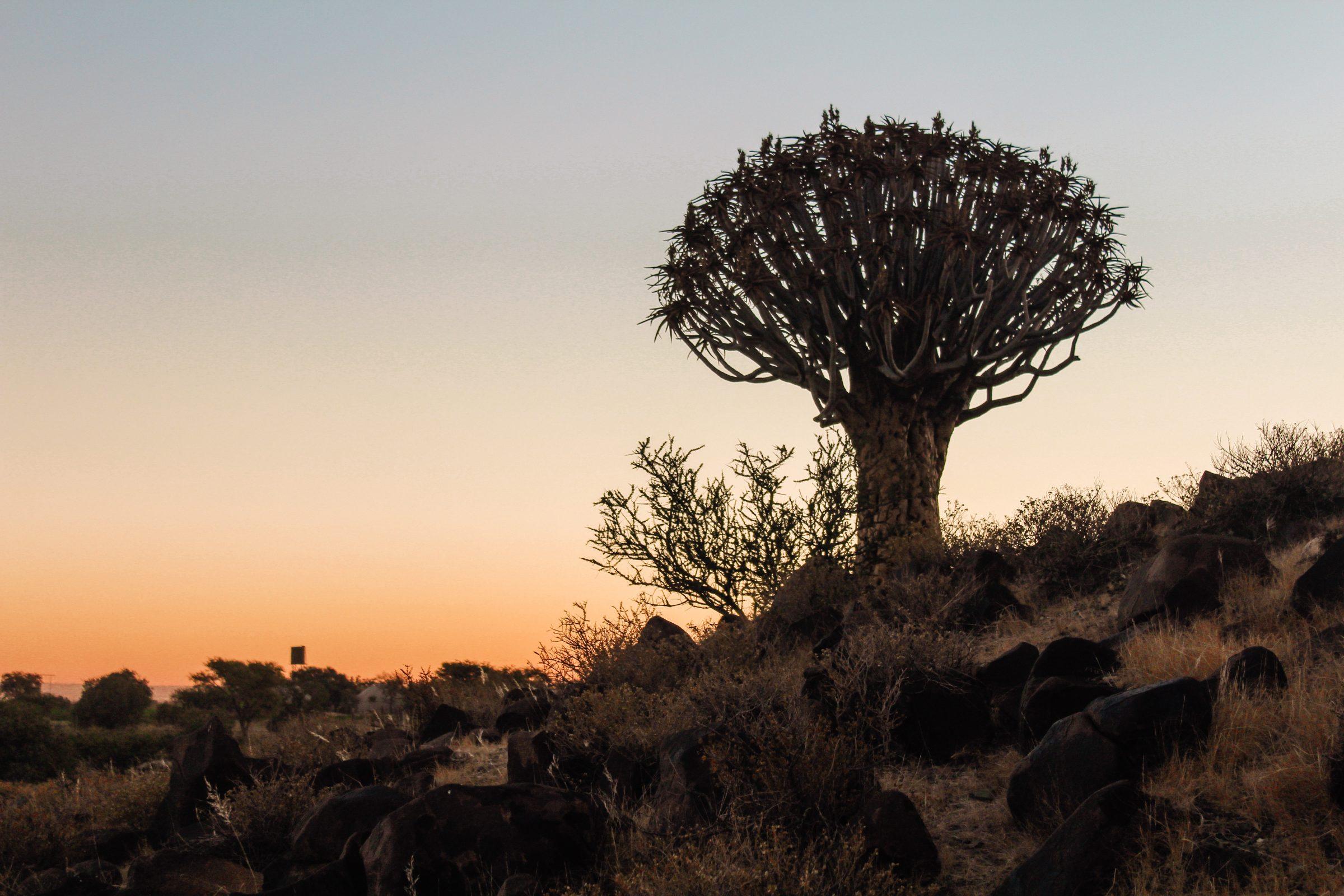 Quivertree Forest bij zonsondergang