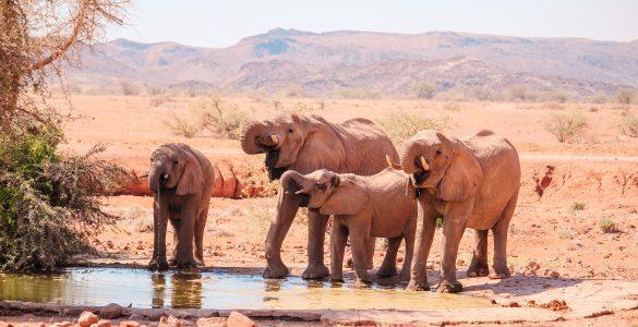 Woestijnolifanten Namibië