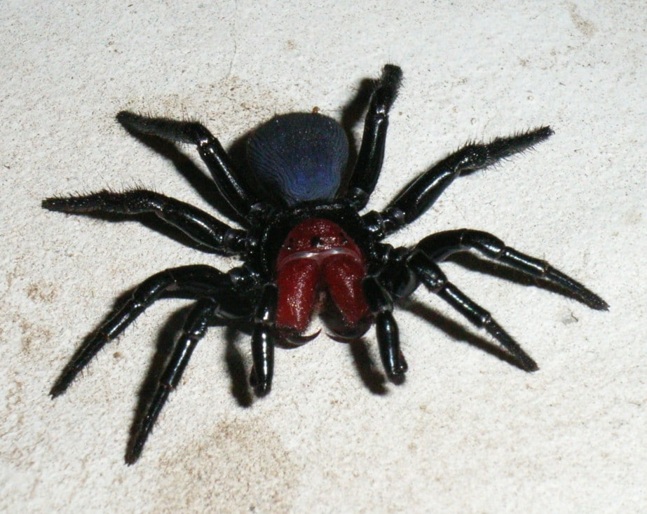 Mouse spider (Muisspin) | Bruiser15, CC BY-SA 3.0