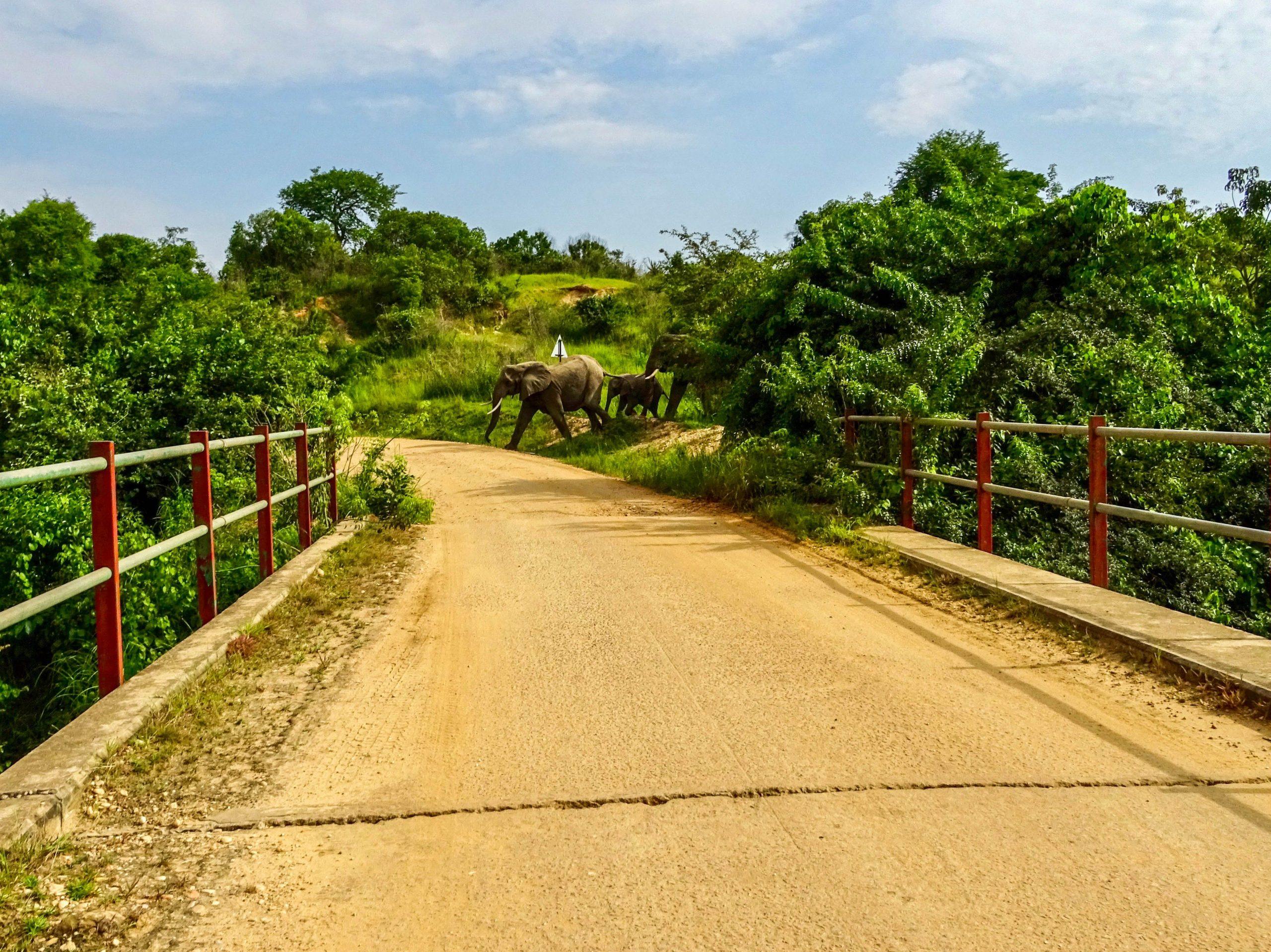 Olifanten passeren de weg in Murchison Falls