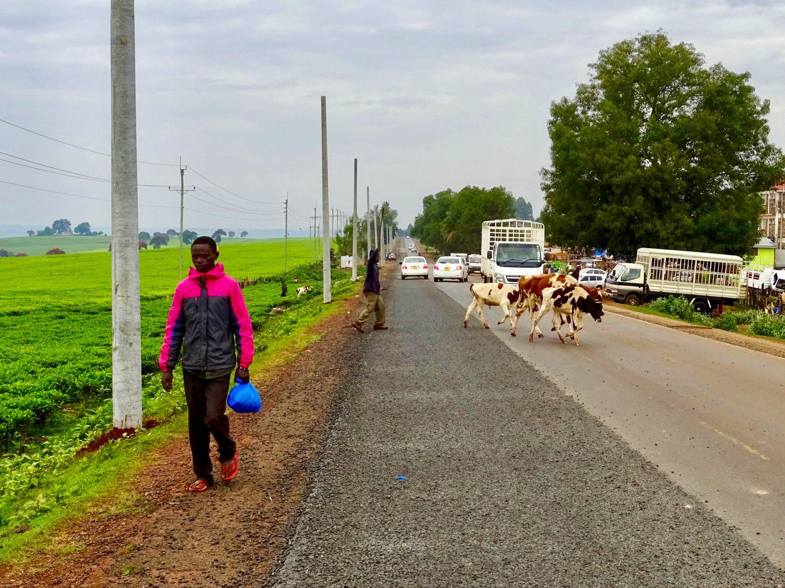 Koeien op de weg in Kericho County